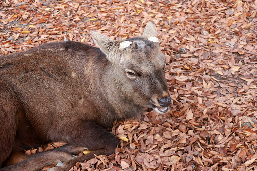 Deer with cut off antler laying down on the  falling leaves floor at the park , Japan. 899693258