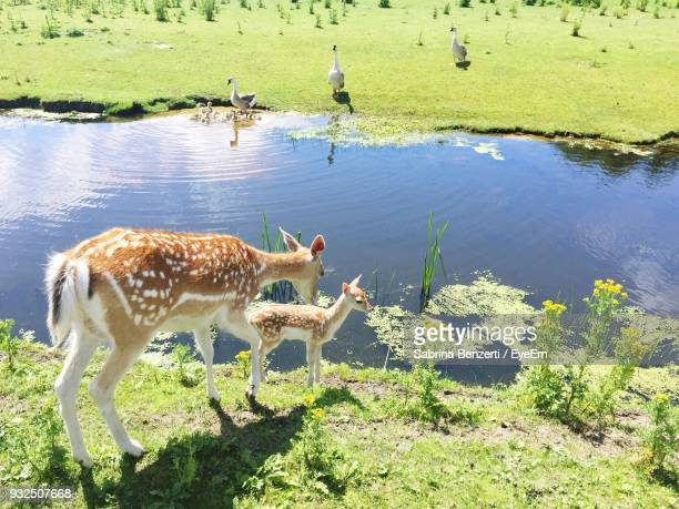 Deer With Fawn Standing By Pond On Field During Sunny Day