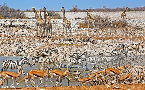 deer with zebras and giraffes on field - zimbabwe fotografías e imágenes de stock