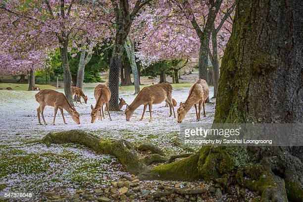 deers at nara park during a sunny day in the cherry blossom season, japan. - cerbiatto foto e immagini stock