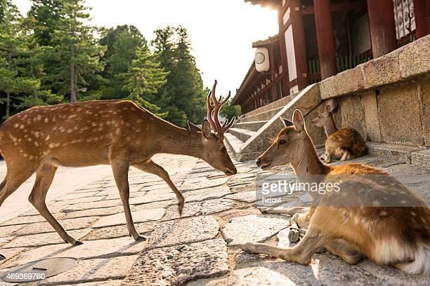 Hirsche am Todaiji-Tempel in Japan