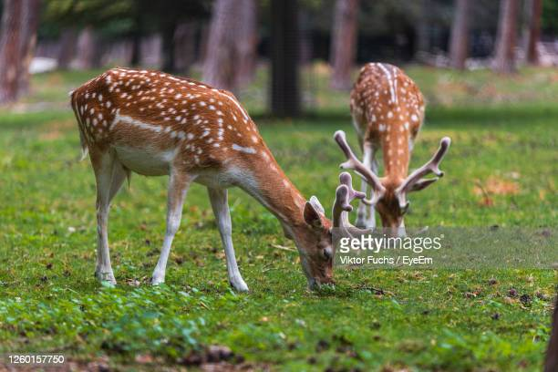 deers grazing in a field - mannheim stock pictures, royalty-free photos & images