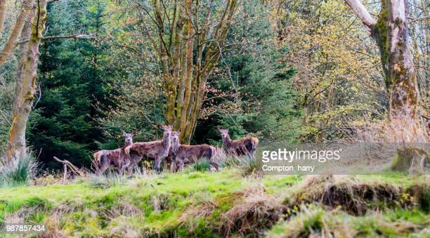 deers in the forest - forrest compton stock pictures, royalty-free photos & images