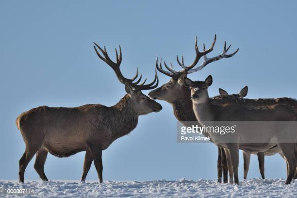 Deers in the winter walking on the snow