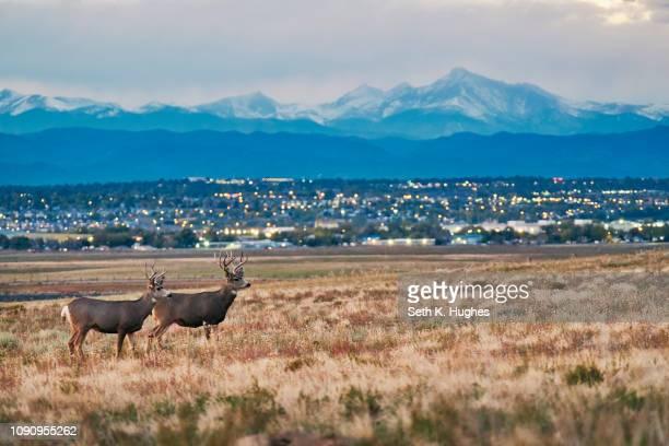 deers on landscape, cityscape, longs peak, rocky mountains, denver, colorado, usa - front range mountain range stock pictures, royalty-free photos & images