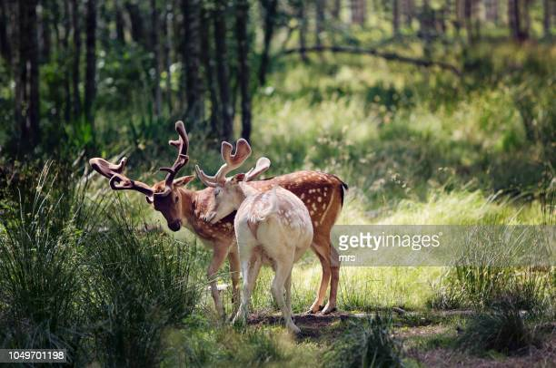 deers - two animals stock pictures, royalty-free photos & images