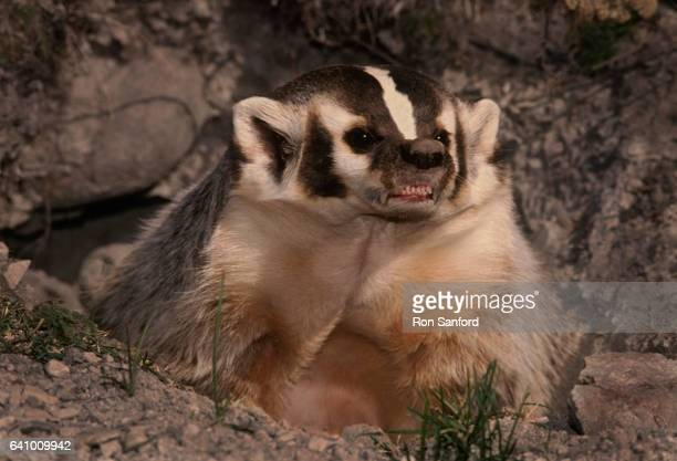 a defensive badger in montana. - american badger stock photos and pictures