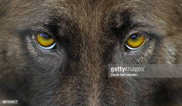 defiant - seeing eye dog stock photos and pictures