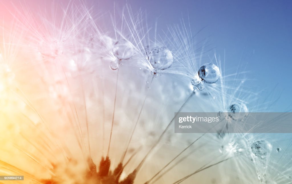 defocused drops on dandelion seed - abstract and minimalism : Stock Photo