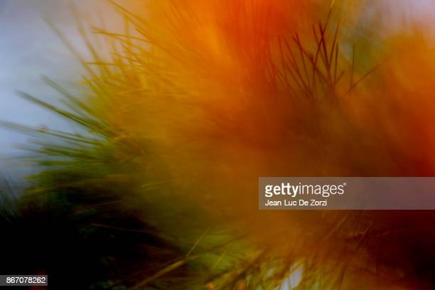 defocused forefront on pine tree needles - coniferous tree stock pictures, royalty-free photos & images