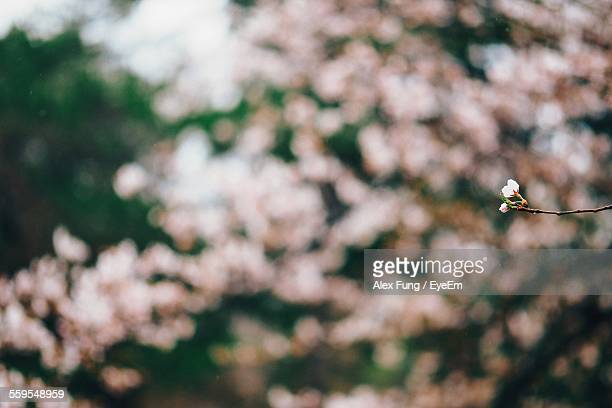 Defocused Image Of Flowering Tree
