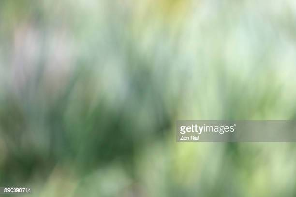 Defocused image of saw palmetto plants