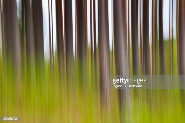 Defocused pine trees in the wood. Smaller green trees in between.