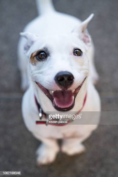 defocused portrait of an happy jack russel terrier smiling - seeing eye dog stock photos and pictures