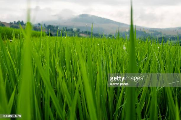 6 562 padi field background photos and premium high res pictures getty images 2