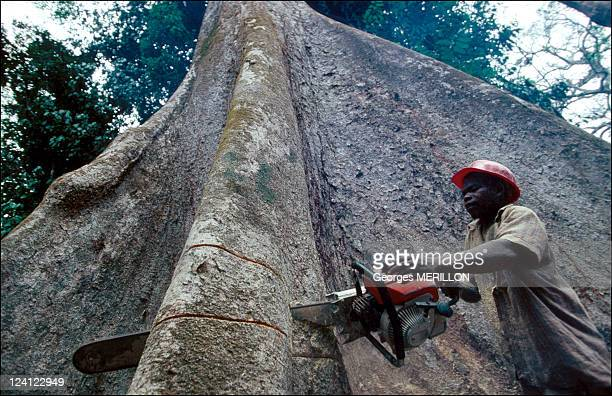 Deforestation at the Aka Pygmies In Central African Republic In April 1992 Tree cutter working on a bayou