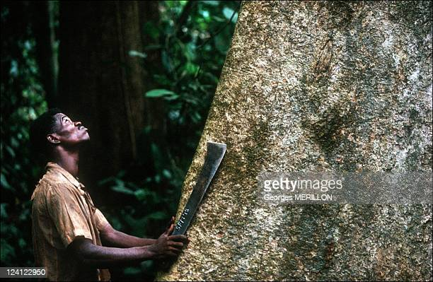 Deforestation at the Aka Pygmies In Central African Republic In April 1992 The cutter's assistant assesses tree to be felled