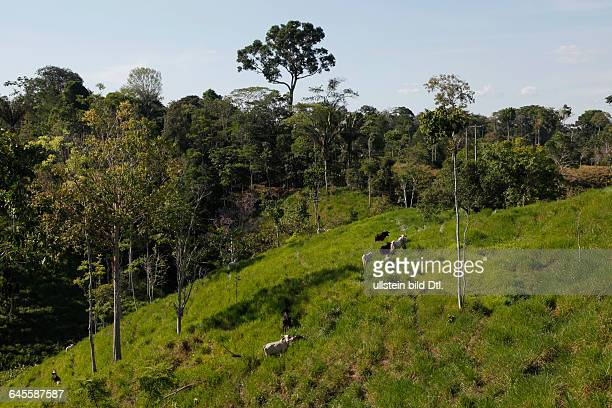 Deforestation for cattle grazing and timber logging at the Yasuni National Park Amazon Ecuador
