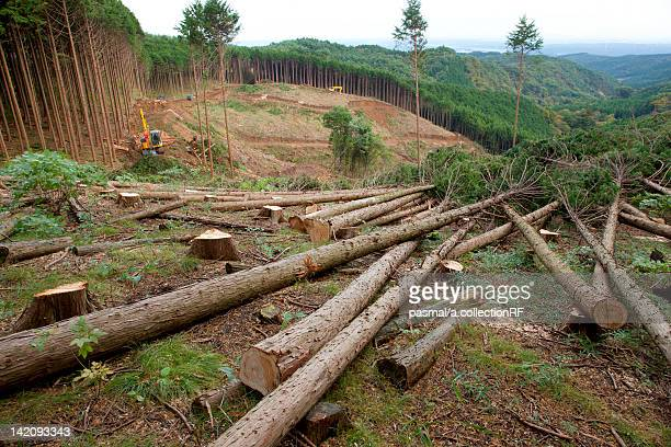Deforestation of Cedar Forest