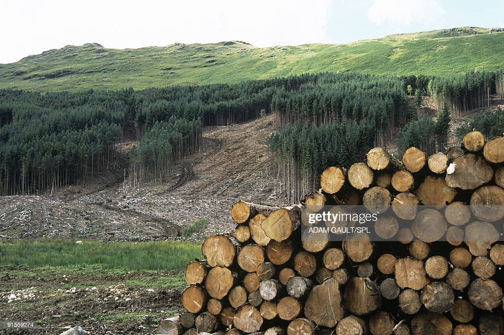 Deforested conifer plantation and harvested logs : Stock Photo