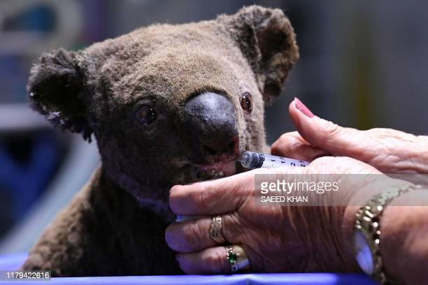 A dehydrated and injured Koala receives treatment at the Port Macquarie Koala Hospital in Port Macquarie on November 2 after its rescue from a...