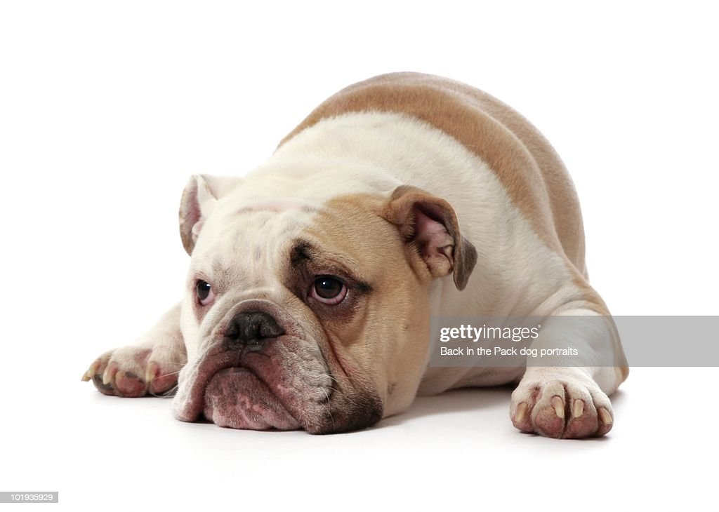 Dejected bull dog : Stock Photo