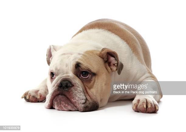 Dejected bull dog