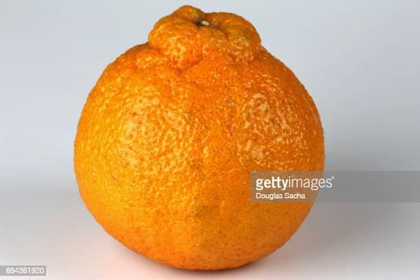 dekopon sumo orange fruit (citrus reticulata) - sumo wrestling stock pictures, royalty-free photos & images