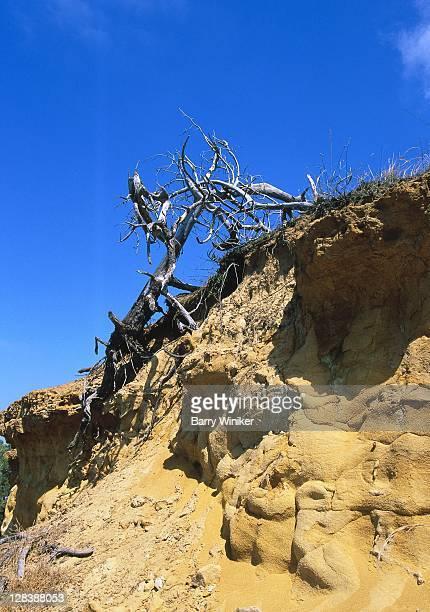 CA, Del Mar, Sandstone Cliffs, Decayed tree