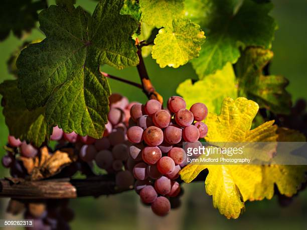 delectible grapes - pinot noir grape stock photos and pictures