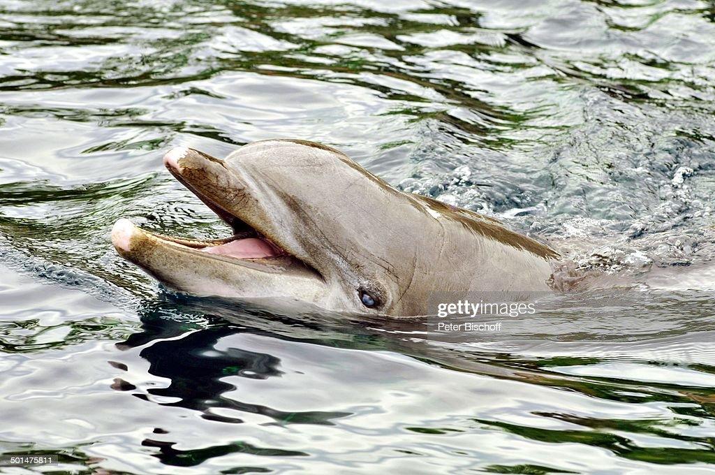 Delfin in der Delfinlagune, 100 Jahre Tiergarten, Nürnberg, Bayern, Deutschland, Eur : News Photo