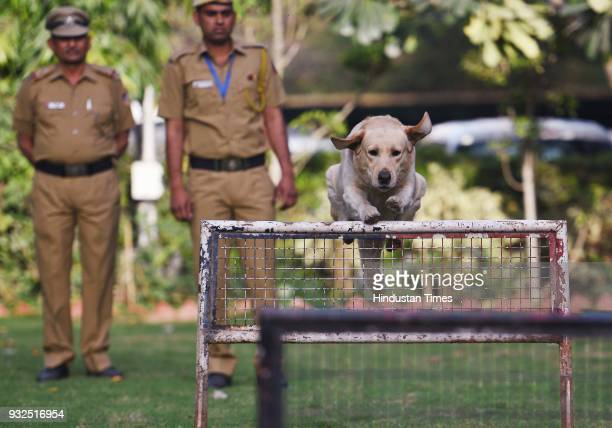 Delhi Police Dog Babu demonstrates the hurdles on March 15 2018 in New Delhi India the fouryearold Labrador Babu won the department its first gold...