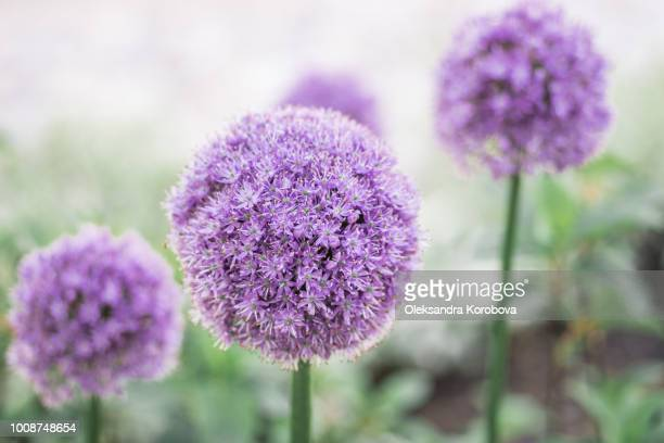 delicate allium flowers in bloom on an overcast day. - allium flower stock pictures, royalty-free photos & images