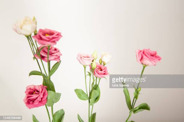 delicate aromatic roses against white wall - rose colored stock pictures, royalty-free photos & images