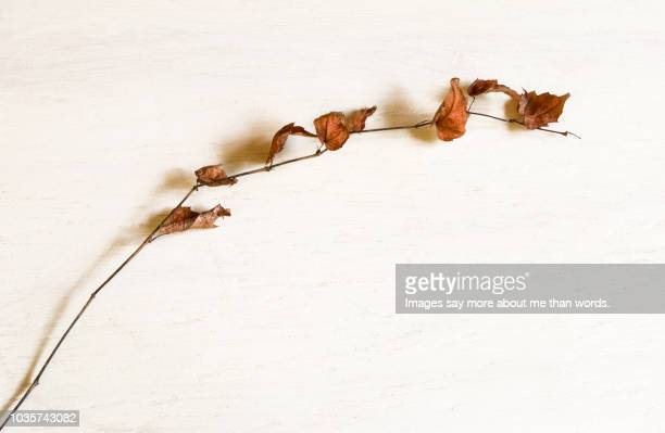 a delicate autumn branch still with some leaves over a white background. - november background stock photos and pictures