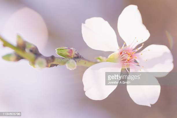 delicate blossom - almond stock pictures, royalty-free photos & images