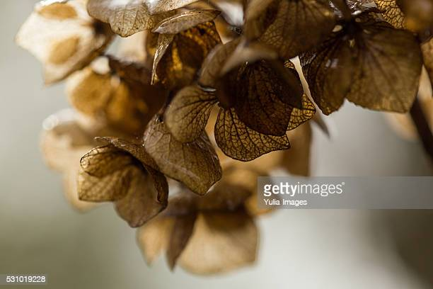 Delicate Dried Flowers with Brown Petals hydrangea