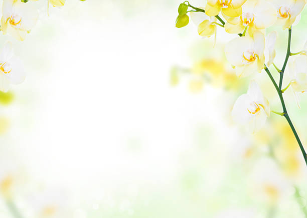 Free yellow flower white background images pictures and royalty delicate flower background of yellow orchids mightylinksfo Images