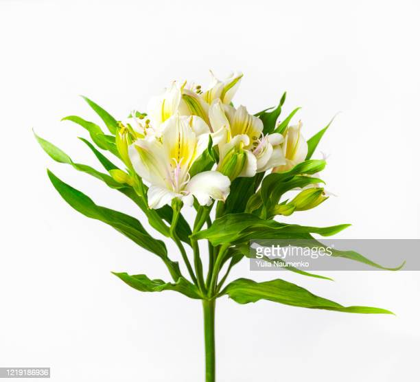 delicate flowers of white alstroemeria on white background. pastel colors. close up. - alstroemeria stock pictures, royalty-free photos & images