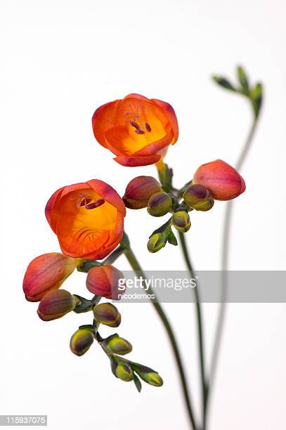 delicate freesia - freesia stock pictures, royalty-free photos & images