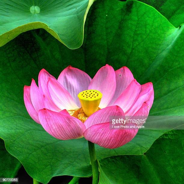 Delicate lotus