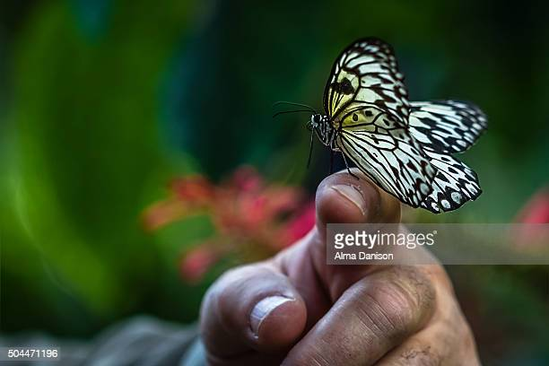 delicate parantica aspasia butterfly lands on rough hand - alma danison stock photos and pictures