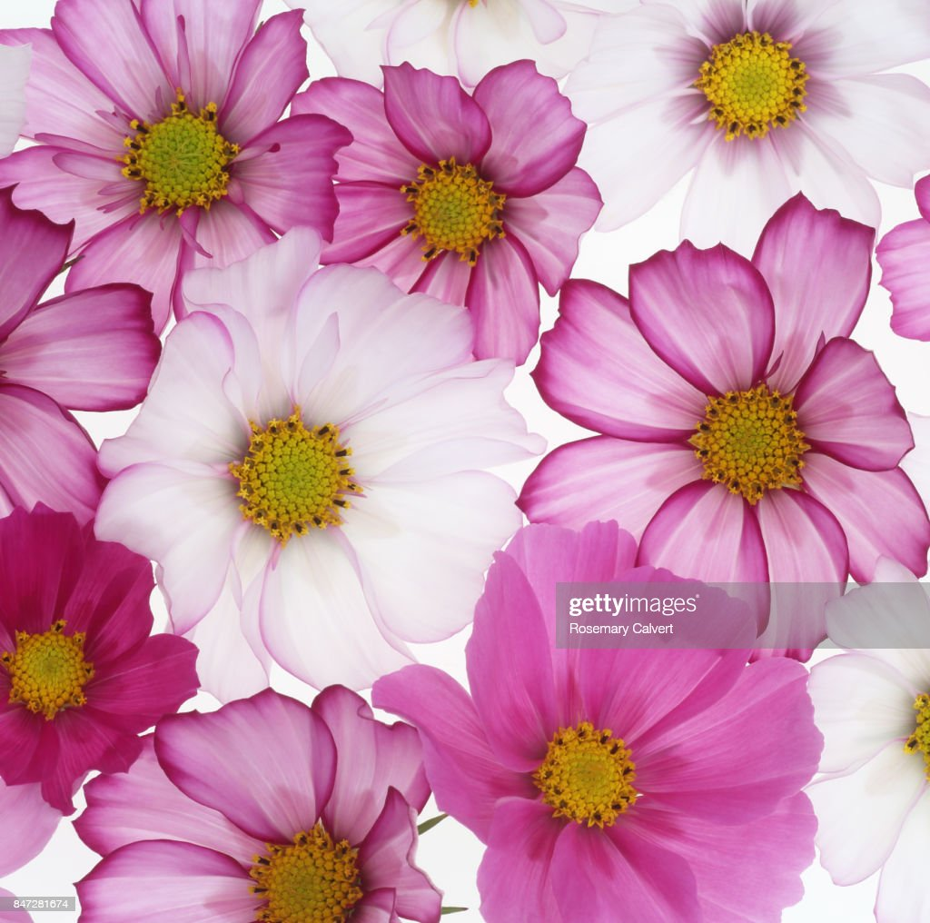 Delicate Pink And White Cosmos Flowers In Square Stock Photo Getty