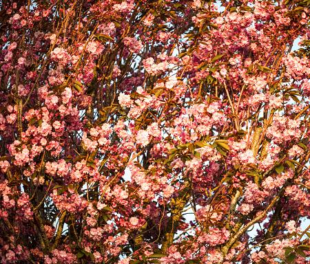 Delicate pink Cherry Blossom flower - gettyimageskorea
