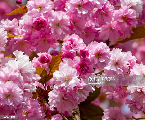 delicate pink cherry blossom flower - april stock pictures, royalty-free photos & images
