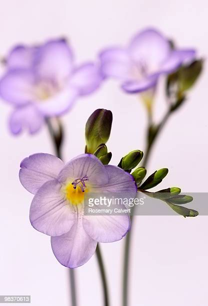 Delicate purple freesia flowers, white background.
