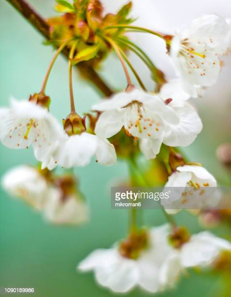 delicate white cherry blossom flower - wildflower stock pictures, royalty-free photos & images