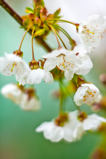 Delicate white Cherry Blossom flower - gettyimageskorea