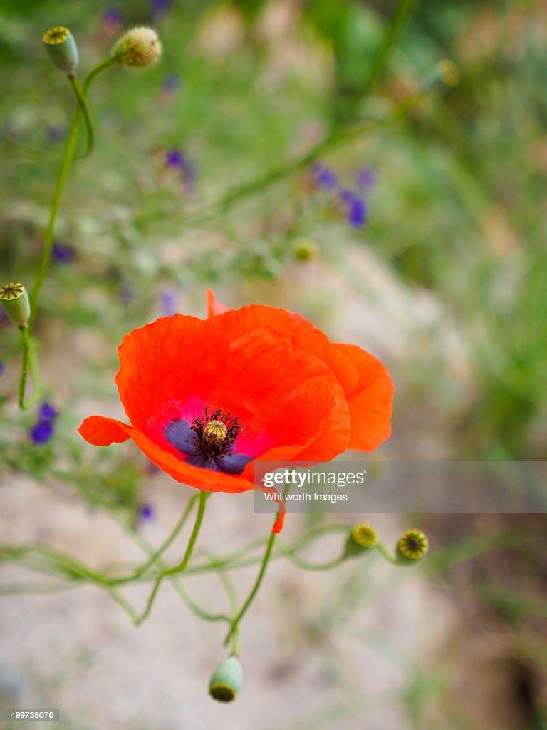 Delicate wild red poppy flowers turkey stock photo getty images delicate wild red poppy flowers turkey stock photo mightylinksfo