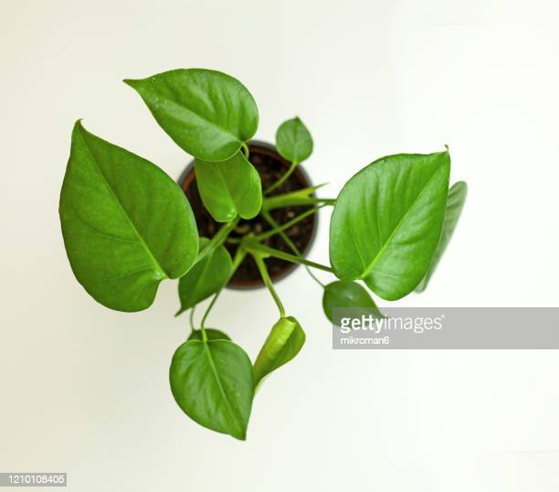 monstera deliciosa, swiss cheese plant. house plant - lidl stock pictures, royalty-free photos & images